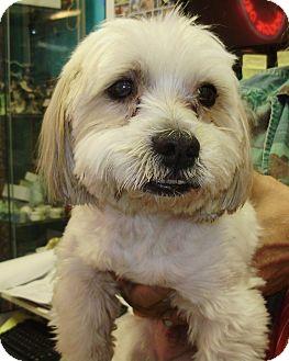 Shih Tzu Mix Dog for adoption in Chicago, Illinois - Spot