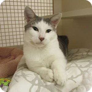 Domestic Shorthair Cat for adoption in Gilbert, Arizona - Bob