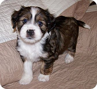 Tibetan Terrier/Cocker Spaniel Mix Puppy for adoption in La Habra Heights, California - Katee