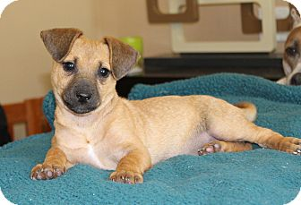 Dachshund/Beagle Mix Puppy for adoption in Los Angeles, California - Donut