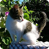 American Shorthair Cat for adoption in Cleveland, Ohio - PETER