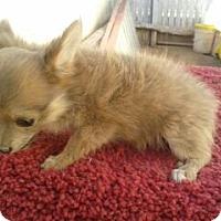 Adopt A Pet :: Tinkerbell - Chandler, AZ
