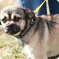 Adopt A Pet :: Pugsly - Mr. Personality! - Staunton, VA