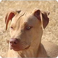 Adopt A Pet :: Dodger - Arlington, TX
