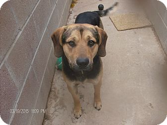 Black and Tan Coonhound Mix Dog for adoption in KELLYVILLE, Oklahoma - RUSTY