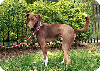 Whippet Mix Dog for adoption in Salem, New Hampshire - JOEY