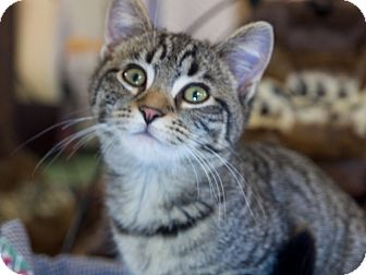 Domestic Shorthair Kitten for adoption in Nashville, Tennessee - Watson