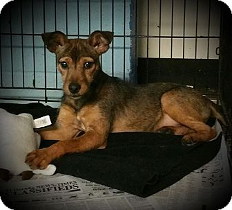 Chihuahua/Wirehaired Fox Terrier Mix Puppy for adoption in El Dorado, Arkansas - Spike