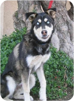 Siberian Husky/Husky Mix Puppy for adoption in Southern California, California - Bandit