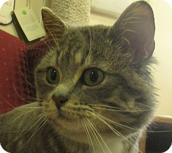 Domestic Shorthair Cat for adoption in Lloydminster, Alberta - Orlando