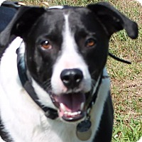 Adopt A Pet :: Chief - Lebanon, CT