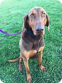 Hound (Unknown Type) Mix Dog for adoption in Maryville, Missouri - Sounder