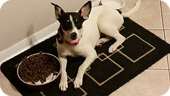 Fox Terrier (Smooth) Mix Dog for adoption in Huntington, Indiana - Olivia