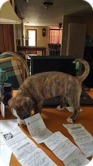 Boxer/Labrador Retriever Mix Puppy for adoption in New Port Richey, Florida - Astro