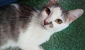 Domestic Shorthair Cat for adoption in Gilbert, Arizona - Annie