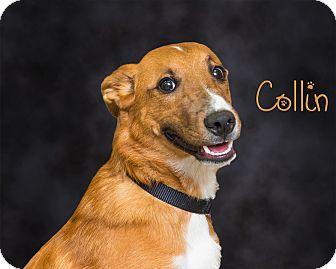 Terrier (Unknown Type, Medium) Mix Dog for adoption in Somerset, Pennsylvania - Collin