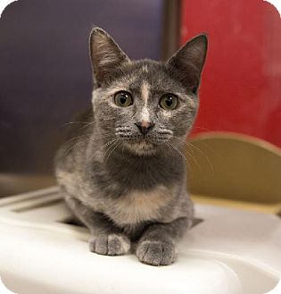 Domestic Shorthair Kitten for adoption in Tallahassee, Florida - Tia