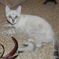 Siamese/Domestic Shorthair Mix Cat for adoption in Pompano Beach, Florida - Lokey
