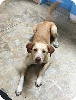 Labrador Retriever/Golden Retriever Mix Dog for adoption in Murrells Inlet, South Carolina - 'J Puppy Jasper