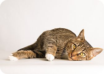 Abyssinian Cat for adoption in Hendersonville, North Carolina - Kerry