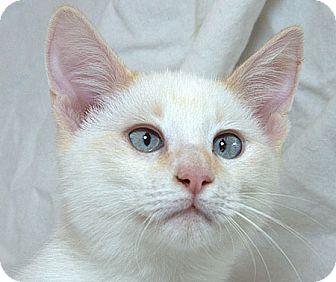 Siamese Kitten for adoption in Sacramento, California - Pierce M