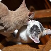 Adopt A Pet :: Cleo - Loveland, CO