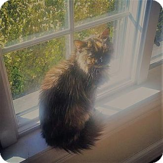 Domestic Shorthair Cat for adoption in Chicago Heights, Illinois - Suzie