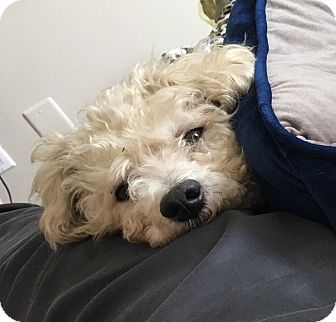 Bichon Frise/Miniature Poodle Mix Dog for adoption in Oakland, Florida - Rowan
