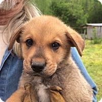 Adopt A Pet :: Simon - Hohenwald, TN
