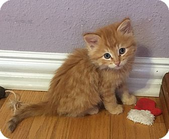Domestic Longhair Kitten for adoption in Fort Worth, Texas - Austen