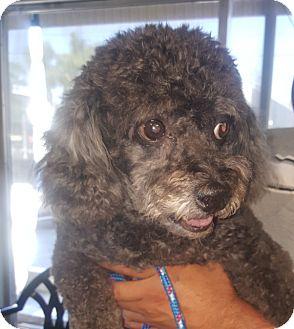 Poodle (Miniature) Mix Dog for adoption in Canoga Park, California - Blazer