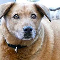 Adopt A Pet :: *HERSHEY - Austin, TX