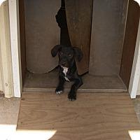 Adopt A Pet :: Andy - Buchanan Dam, TX