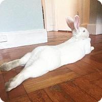 Adopt A Pet :: ELIZA DOOLITTLE - Boston, MA