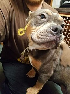 English Bulldog/French Bulldog Mix Dog for adoption in Akron, Ohio - Georgia ADOPTED