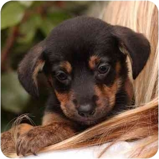 Dachshund Mix Puppy for adoption in El Segundo, California - Lucas