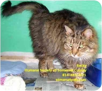 Domestic Longhair Cat for adoption in Somerset, Pennsylvania - Becky