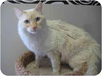 Siamese Cat for adoption in Rock Springs, Wyoming - Sebastian