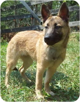 Belgian Malinois/German Shepherd Dog Mix Dog for adoption in Louisville, Kentucky - Peter