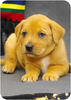 Catahoula Leopard Dog/Labrador Retriever Mix Puppy for adoption in Westminster, Colorado - RON