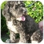 Photo 2 - Portuguese Water Dog/Poodle (Miniature) Mix Dog for adoption in Los Angeles, California - Bethany