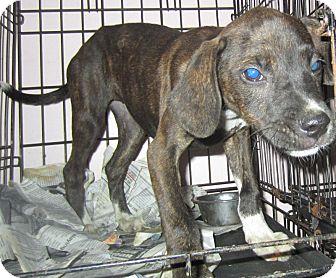 Boxer/Shepherd (Unknown Type) Mix Puppy for adoption in Detroit, Michigan - Bizzy