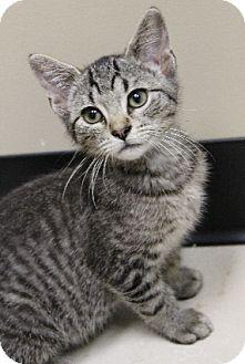 Domestic Shorthair Kitten for adoption in Chicago, Illinois - Scotty