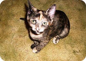 Domestic Shorthair Kitten for adoption in Kirkwood, Delaware - Paisley