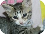 Domestic Shorthair Kitten for adoption in Clearfield, Utah - Neena