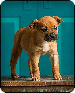 Boxer Mix Puppy for adoption in Owensboro, Kentucky - Leroy