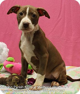 Terrier (Unknown Type, Medium) Mix Puppy for adoption in Laplace, Louisiana - Reese Girl