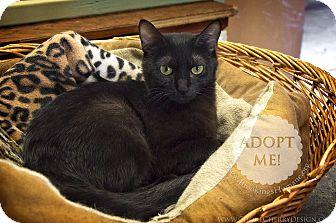 Domestic Shorthair Cat for adoption in Brookings, South Dakota - Rosalie