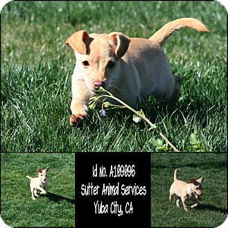 Chihuahua Mix Puppy for adoption in Yuba City, California - 02/12 Unnamed