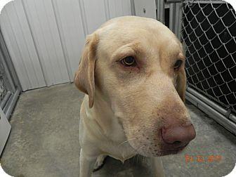 Labrador Retriever Dog for adoption in Buffalo, Wyoming - Diesel